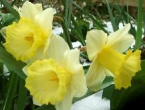 snow-daffodils